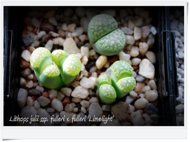 Lithops julii ssp. fulleri v. fulleri 'Limelight'