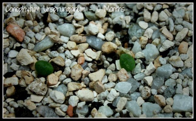 conophytum_09302015(2)