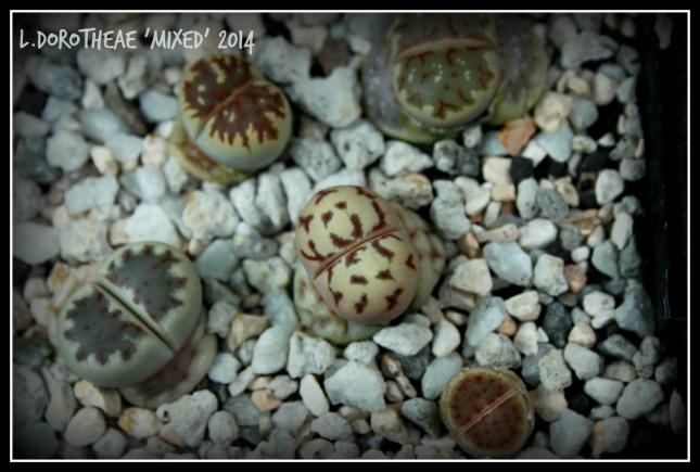 lithops_dorotheae_2014_11252015