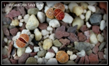 lithops_Lava Flow_11252015