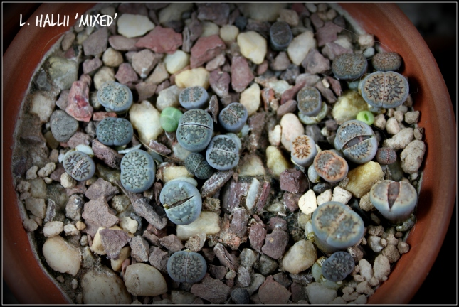 lithops_Mixed Hallii_2015_11252015