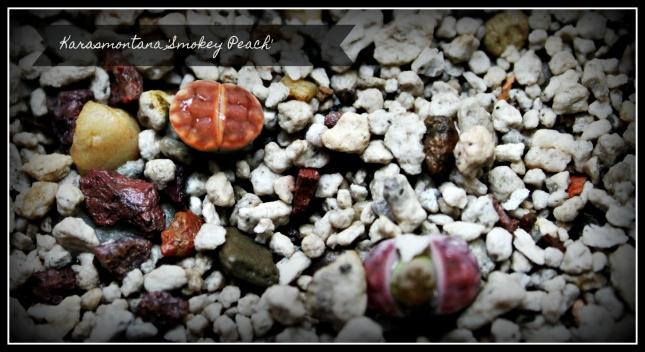 Karasmontana Smokey Peach.JPG